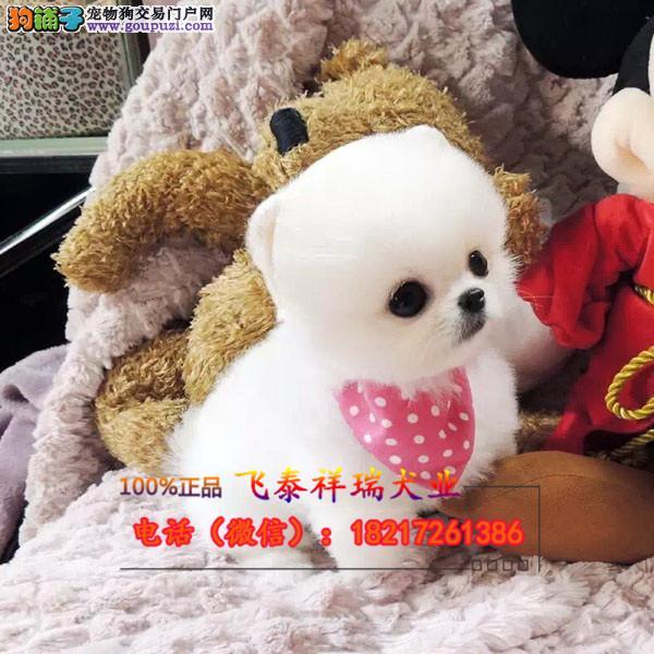 纯种韩国茶杯小型玩具泰迪熊 保健康保纯种