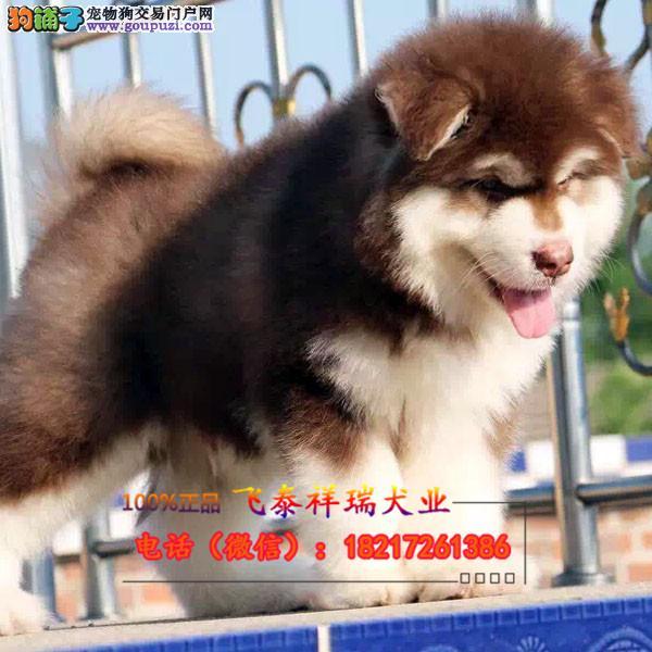 纯种中亚牧羊犬多色可选血统纯正身体健康已做防疫