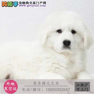 cku犬舍直销世界名犬全国包邮货到付款1