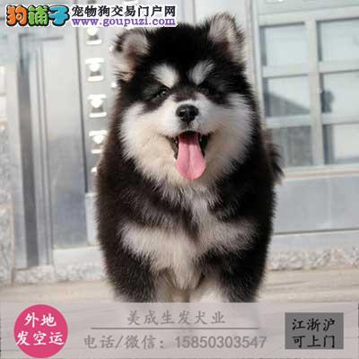 cku犬舍直销世界名犬全国包邮货到付款7415