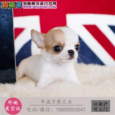 cku认证犬舍出售吉娃娃签协议保健康