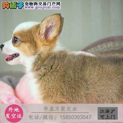cku认证犬舍出售柯基签协议保健康