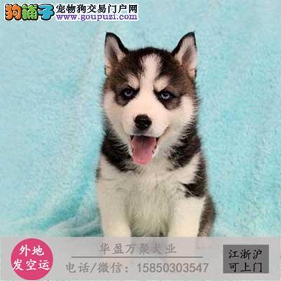 cku认证犬舍出售极品 二哈签协议保健康