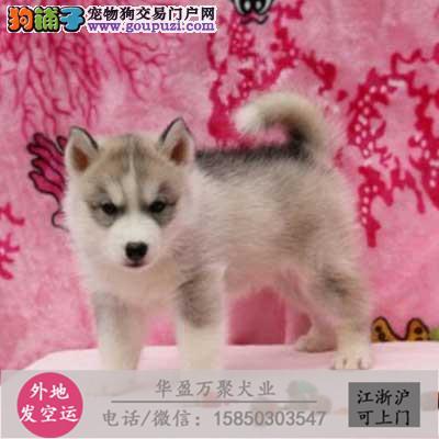 纯种西施犬 幼犬、品种齐全、纯正血统、品质有保