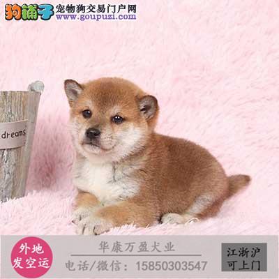 出售柴犬纯种 包活 包健康 签协议