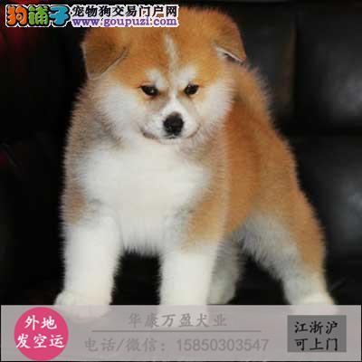 纯种 秋田幼犬、品种齐全、纯正血统、品质有保
