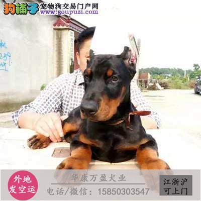 纯种 杜宾幼犬、品种齐全、纯正血统、品质有保