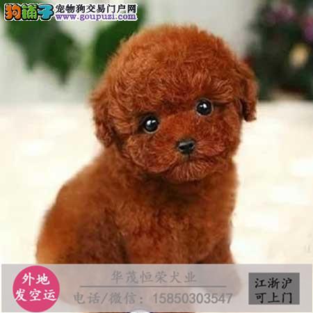 纯种泰迪 幼犬、品种齐全、纯正血统、品质有保