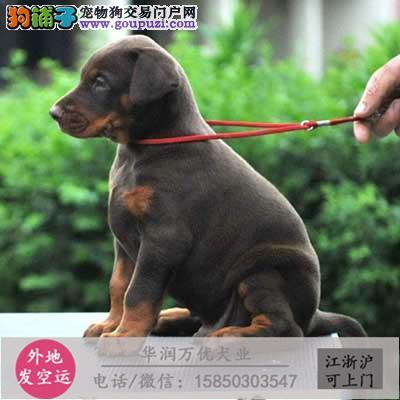 大型犬舍专业繁殖美系杜宾 幼犬现50多只批发