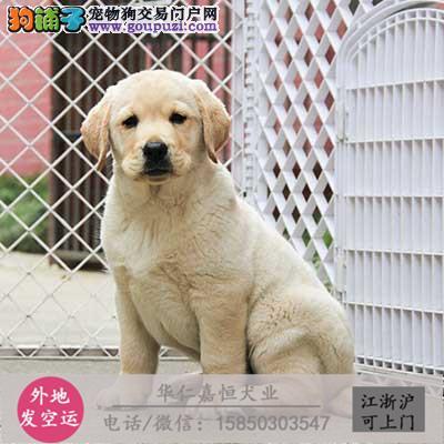 大型犬舍专业繁殖拉布拉多 幼犬现60多只货到付款