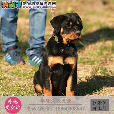 大型犬舍专业繁殖罗威纳 幼犬现60多只货到付款2