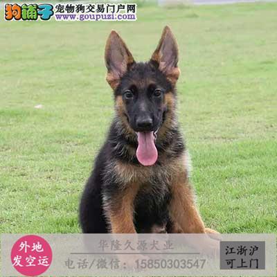 大型犬舍专业繁殖 苏牧幼犬现60多只货到付款3