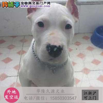 大型犬舍专业繁殖 杜高幼犬现60多只货到付款2