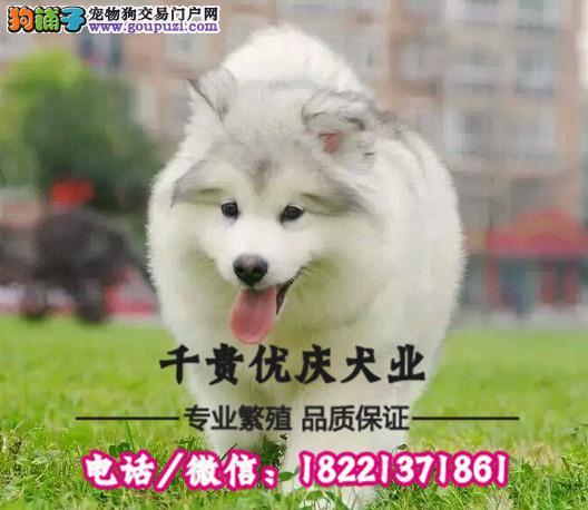 犬舍繁殖高品质  昆明犬    保纯种保健康