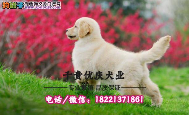犬舍繁殖高品质  可卡犬    保纯种保健康