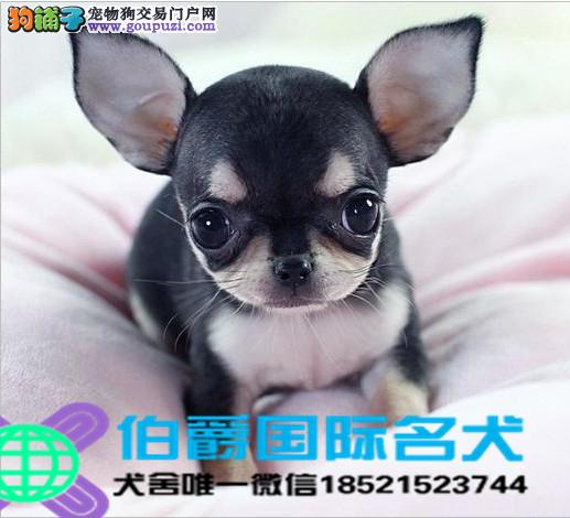 犬舍繁殖高品质吉娃娃保纯种保健康