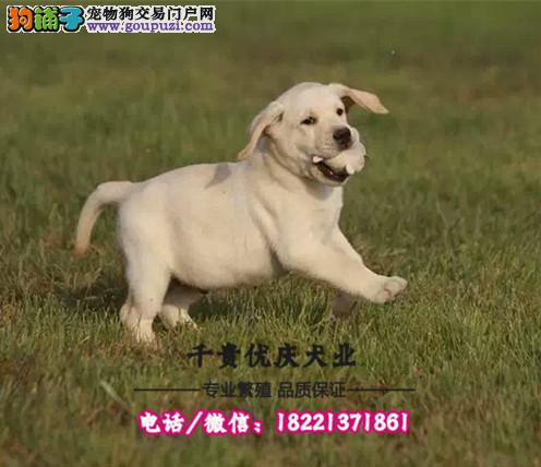 出售纯种拉布拉多幼犬 价格合理 三个月退换 全国包邮