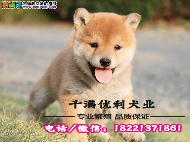 犬舍繁殖高品质  柴犬   保纯种保健康