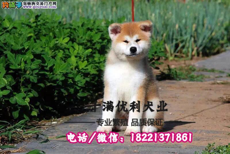 犬舍繁殖高品质  秋田    保纯种保健康