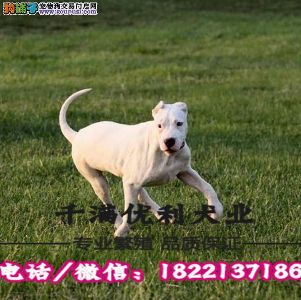 犬舍繁殖高品质  杜高犬    保纯种保健康