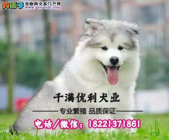 犬舍繁殖高品质  西高地犬    保纯种保健康