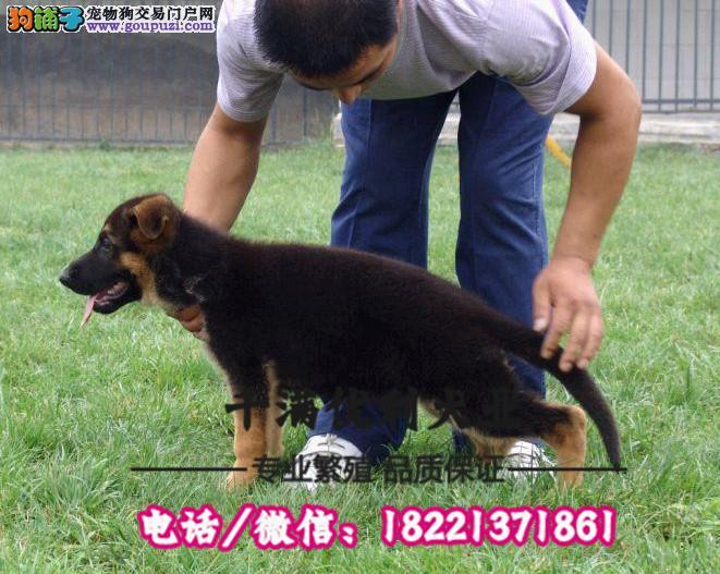 犬舍繁殖高品质  德牧    保纯种保健康