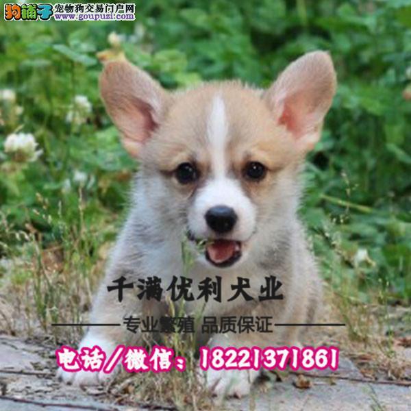 犬舍繁殖高品质  柯基犬    保纯种保健康