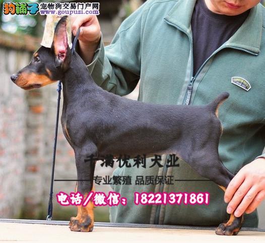 犬舍繁殖高品质  杜宾犬   保纯种保健康