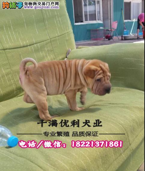 犬舍繁殖高品质  斑点狗   保纯种保健康
