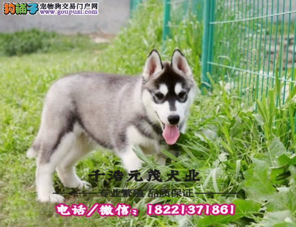 三火双蓝眼 小哈雪橇犬 哈士奇幼犬 纯种健康签合同