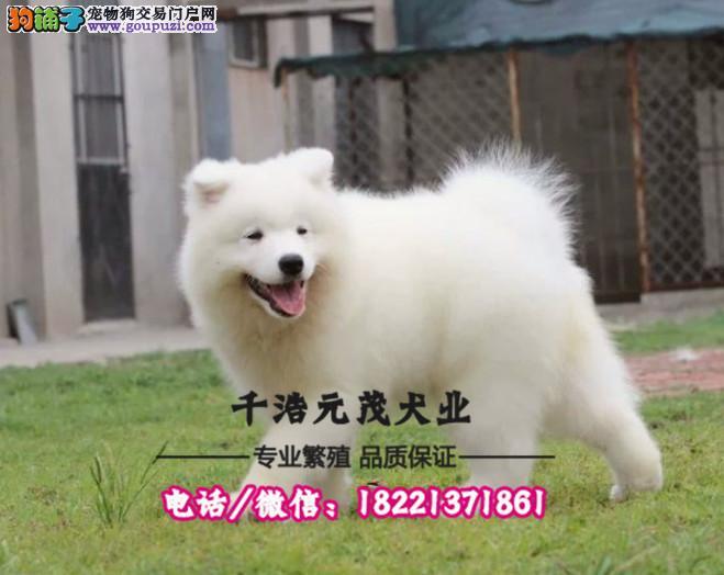 双眼皮微笑天使萨摩耶 可直接来养殖场看狗 价格优惠