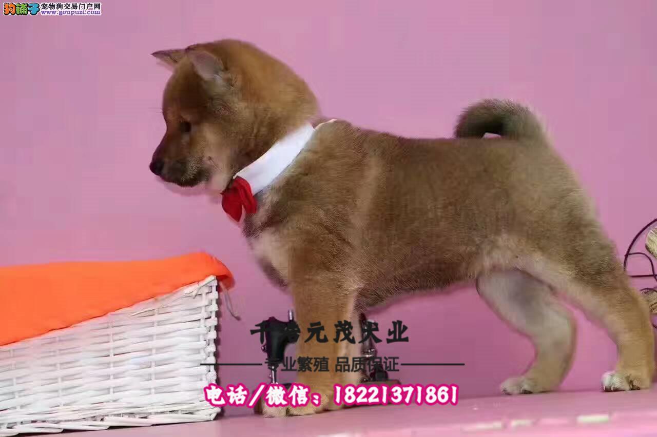 大型犬舍专业繁殖柴犬 幼犬现60多只货到付款
