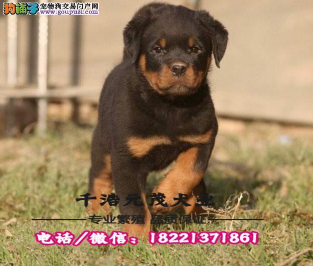 大型犬舍专业繁殖 高加索幼犬现60多只货到付款3
