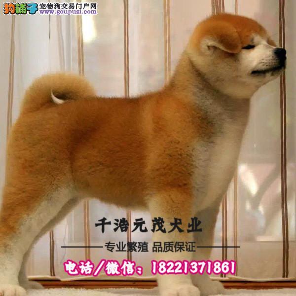 大型犬舍专业繁殖秋田 幼犬现60多只货到付款3