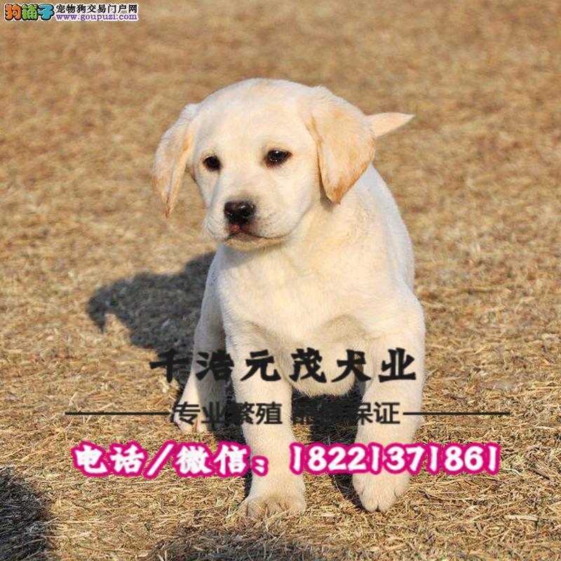 大型犬舍专业繁殖 拉布拉多幼犬现60多只货到付款3