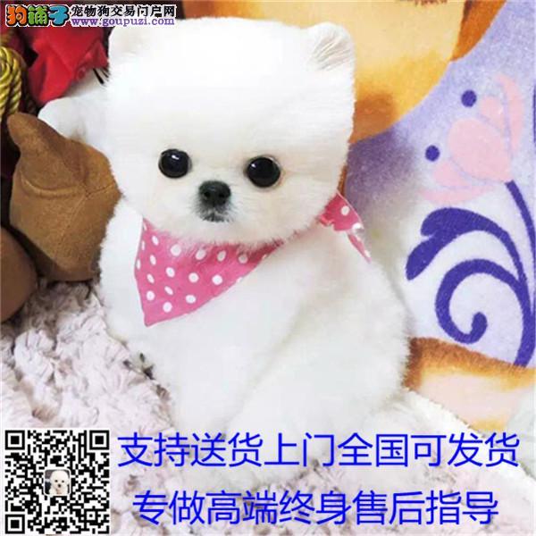16X16厘米韩国进口小茶杯犬泰迪可以看到父母
