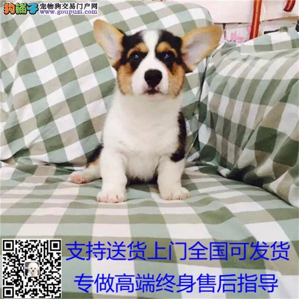 英国双血统出售纯种柯基犬幼犬狗狗 威尔士三色*