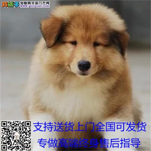 出售纯种边境牧羊犬幼犬品质保证公母全有包邮+*