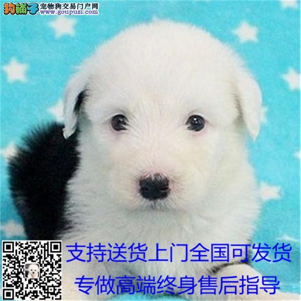 出售纯种古牧幼犬白头齐肩通背四蹄踏雪纯种健康