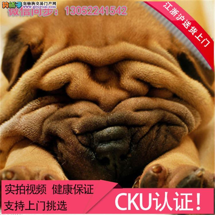 可爱的沙皮幼犬 皱脸沙皮 适应能力强 血统纯正.+