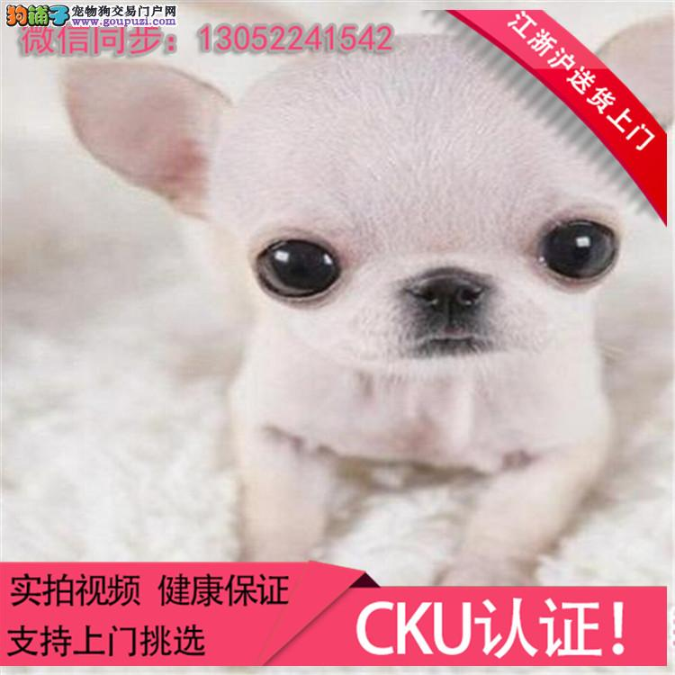 超小体吉娃娃 极品吉娃娃幼犬 签合同保一年健康..+