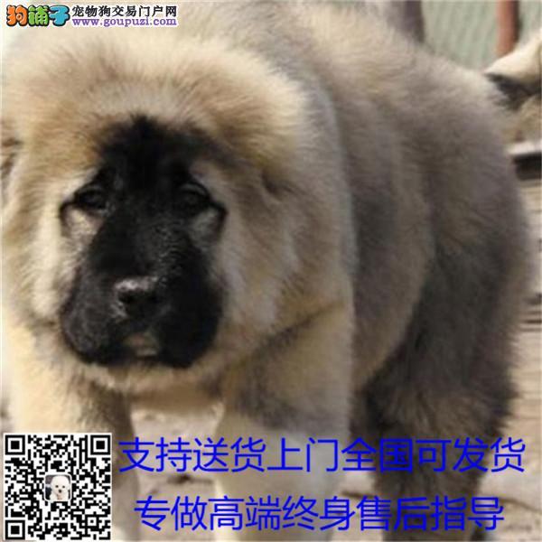纯种巨型犬熊版高加索山脉犬大型养殖基地健康.