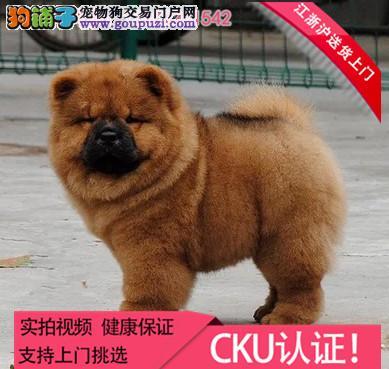 出售大头肉嘴紫舌头小眼睛黄白松狮 保健康 保纯