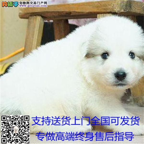 出售纯种血统健康体魄的大白熊;实体店面放心购买