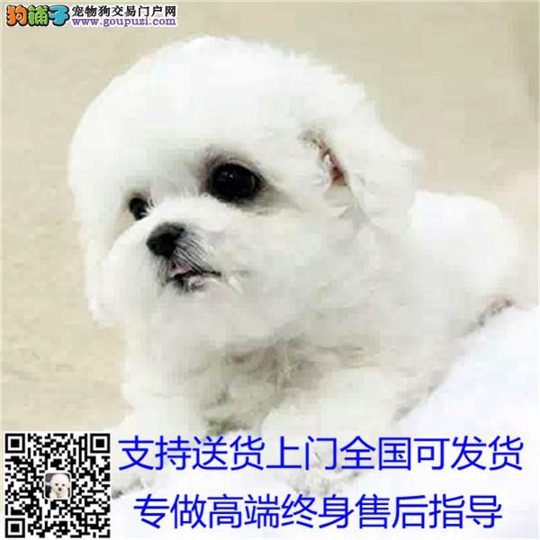 精品茶杯犬 保纯保健康 欢迎实地选购 可签协议/*
