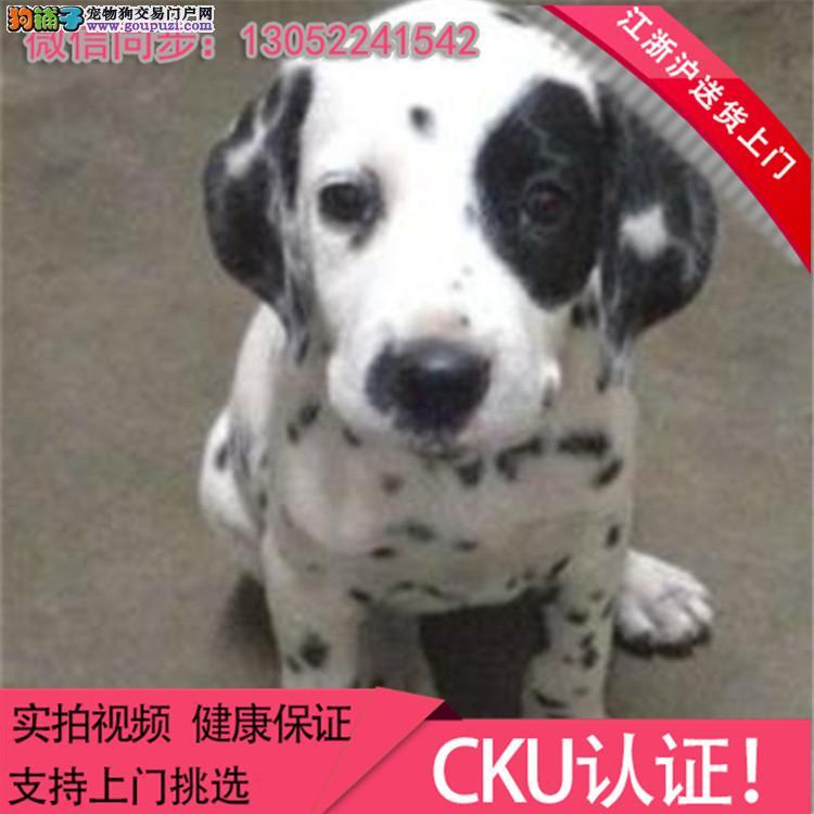 纯种专业 精品 宠物狗狗 斑点 大町犬幼犬出售.