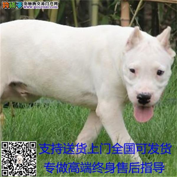 纯种杜高 杜高犬保证纯种健康 终身质保 饲养指导+