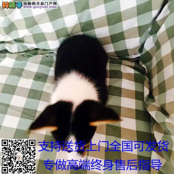 英国双血统出售纯种柯基犬幼犬狗狗 三色柯基/