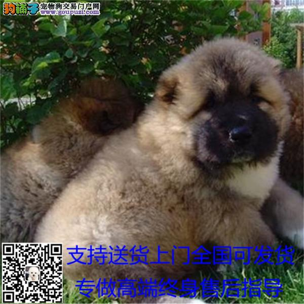 巨型熊版狮子头高加索犬 看家护院第一能手包邮 /