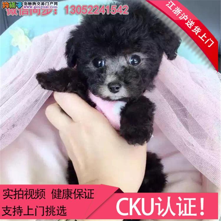 出售泰迪狗狗玩具贵宾泰迪幼犬活体泰迪犬包邮